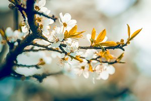 Flowering apple trees.