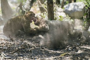 Barbary macaques who fight