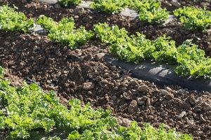 Lettuce field in rows