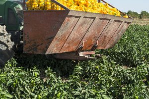 Tractor picking yellow peppers