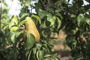 Pears in orchard.