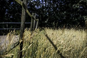 Golden grass with fence
