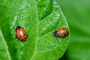 Red lady bug beetles feeding on leaf