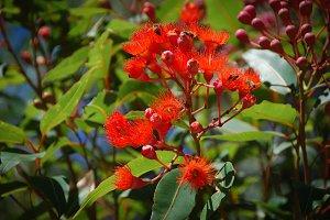 Eucalypt (Gum) Tree Flowers