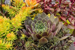 Sedum plants for sustainable planter