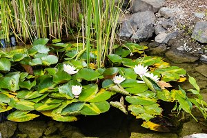 White water lilies blooming