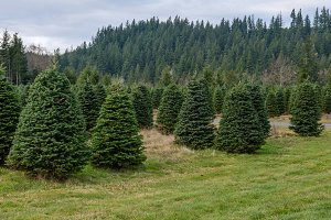 Evergreen tree farm growing fir tree