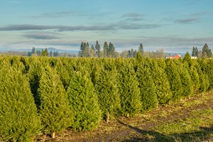Rows of young Christmas trees
