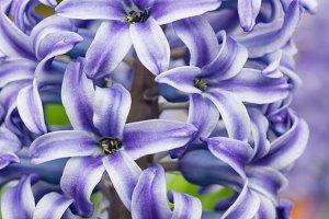 Blue Hyacinth flower in full bloom