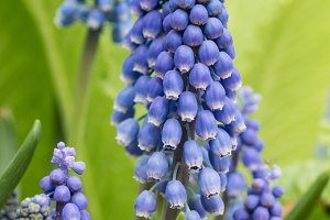Grape hyacinth in flower