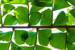 Palm leaf and leaflets backlit
