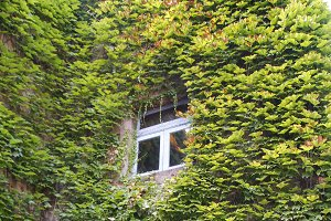 Window in the ivy