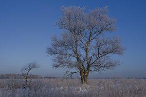 Tree in frost