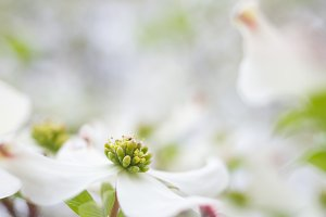 White Flower on Dogwood Tree