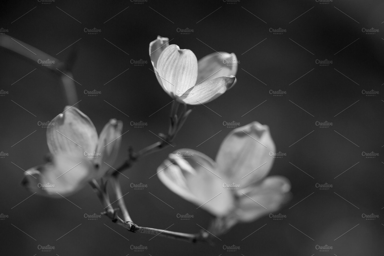Black And White Flowers Dogwood Tree Nature Photos Creative Market