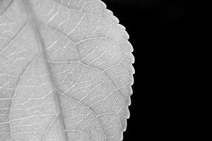 Macro black and white leaf