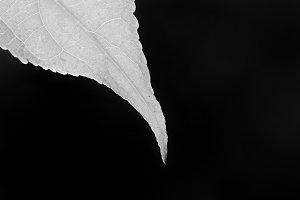 Macro black and white tip of leaf