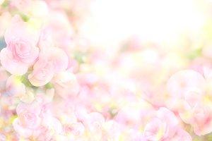 Soft sweet begonia flower