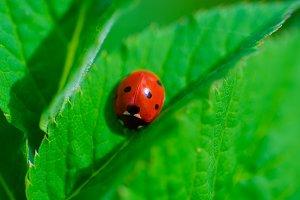 Ladybag on the green leaf