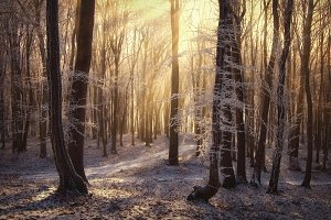Winter Christmas forest with rays