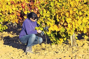 woman in vineyards in autumn