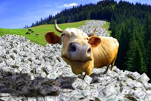 A cow is in a money