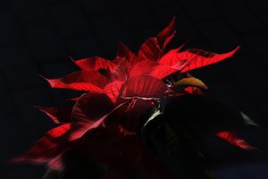 Dramatic Red Pointsettia