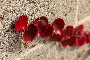 Red Leaves on Brick Wall
