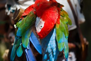 Parrot Ara cleans its wings