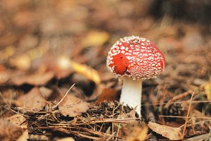 Fly Agaric in Fall