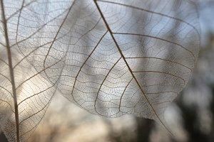 autumn leaf vein pattern