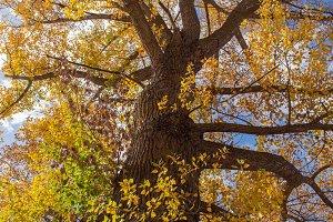 Great poplar