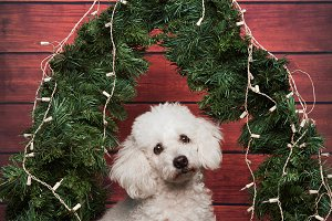 Christmas poodle dog