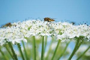 Bee in Blue sky #2