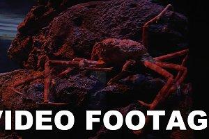 Spider crab in aquarium