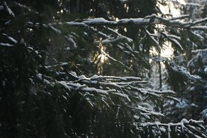 Spruce branches and sunligh