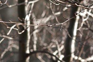 Winter Alders