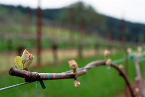 Bud break on a vine