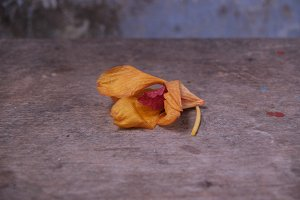 lay down yellow orchid
