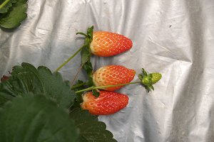 ripe strawberries in a garden