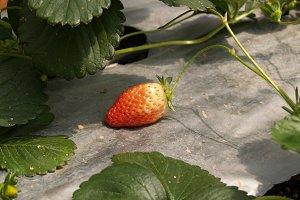 ripe strawberries in a garden
