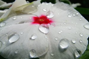 White Flower with Water Drops