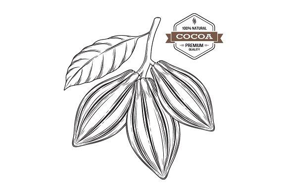 Cocoa pods vector illustration