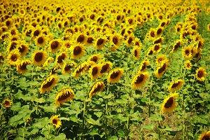 many beauty yellow sunflower