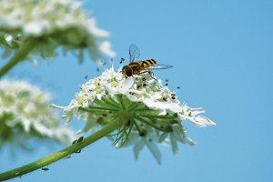 Bee in blue sky