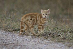 Orange Tabby Kitten I