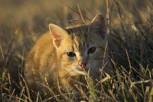 Orange Tabby Kitten III