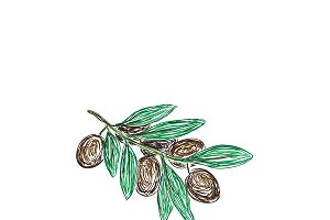branch of black olives, sketch style