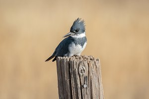 Belted Kingfisher Perched on Wood