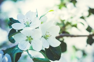 Blooming apple tree